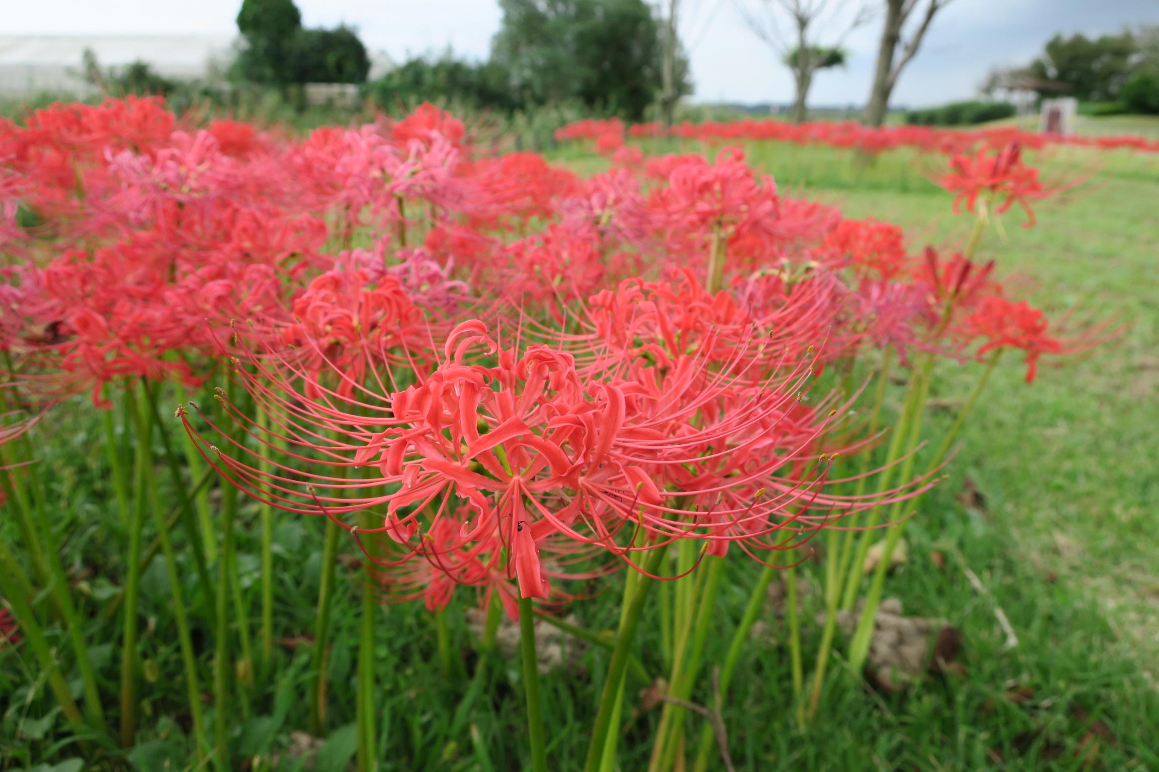手賀沼沿いの赤い彼岸花