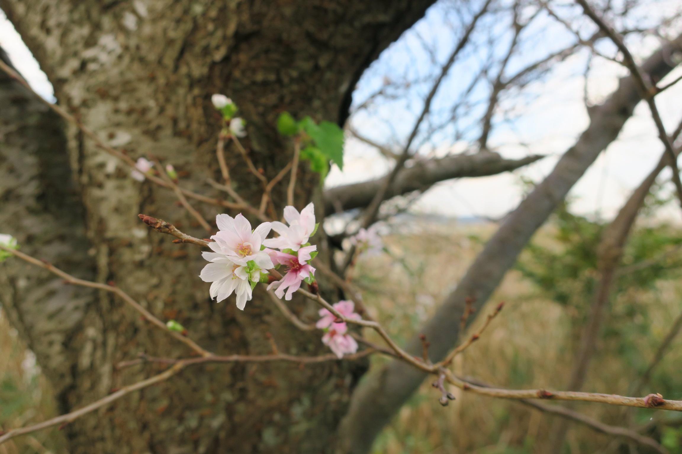 手賀沼遊歩道の十月桜