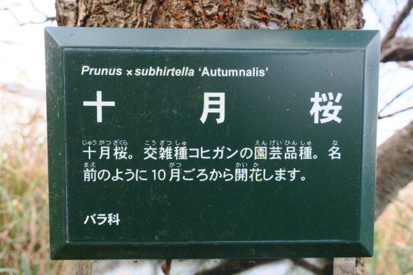 十月桜の看板