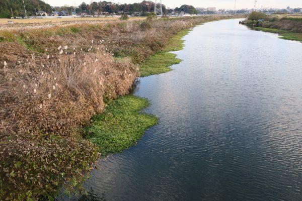 大津川河口から1kmぐらいにもナガエツルノゲイトウの群生が