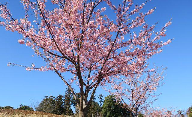 松ヶ崎城跡の河津桜